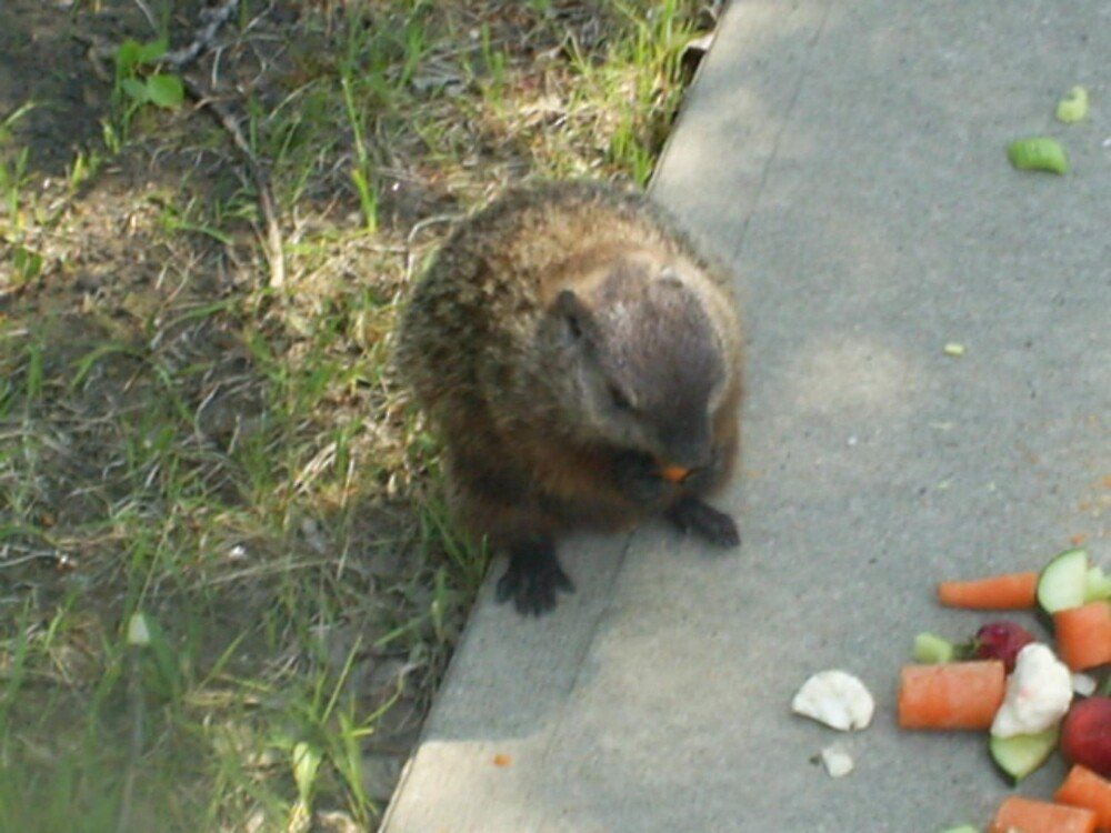 male groundhog by oilersfan11