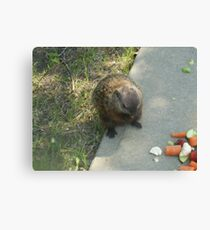 male groundhog Canvas Print