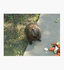 male groundhog Photographic Print