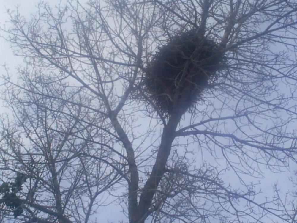 huge bird nest in tree by oilersfan11
