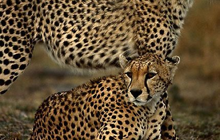 Cheetah by Afzal Ansary FRPS