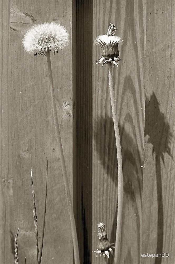 dandelion by estepan99