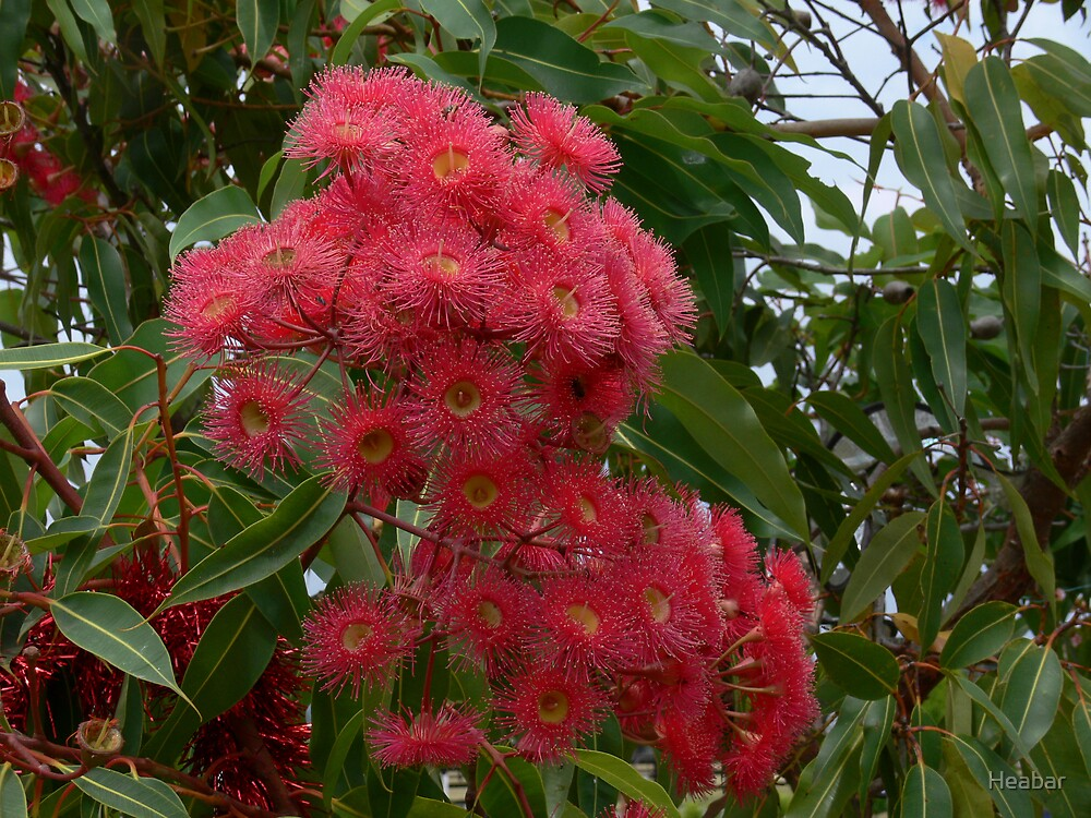 Red flowering gum from Australia by Heabar