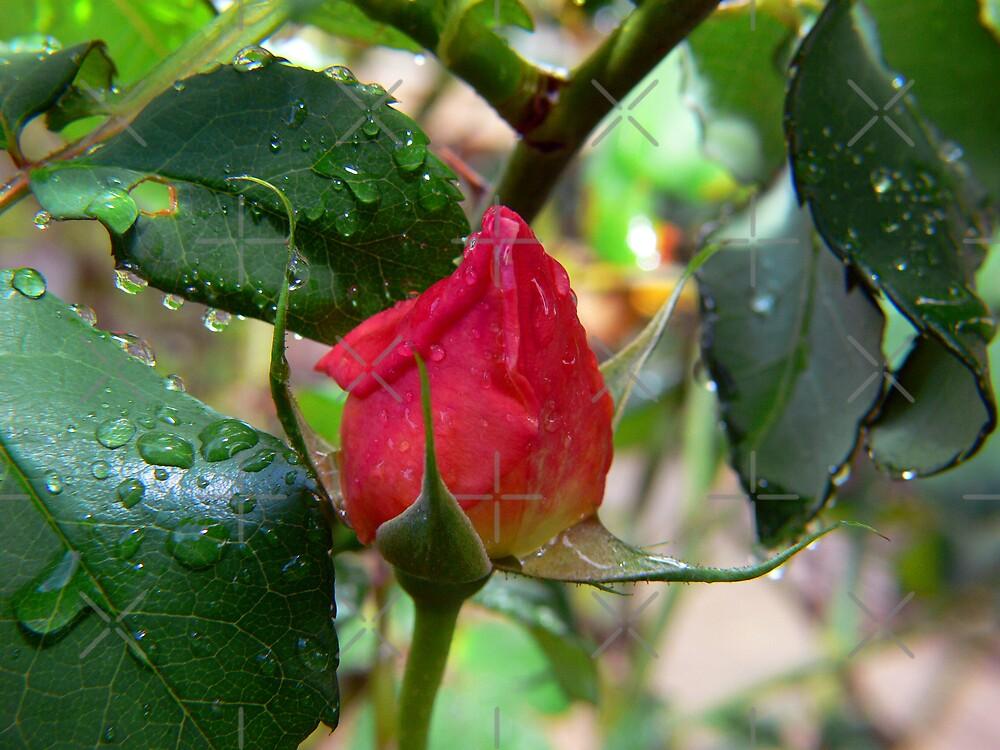 Winter Rosebud by Sandra Chung