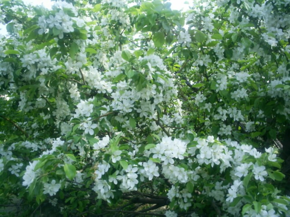 pretty white flowers by oilersfan11
