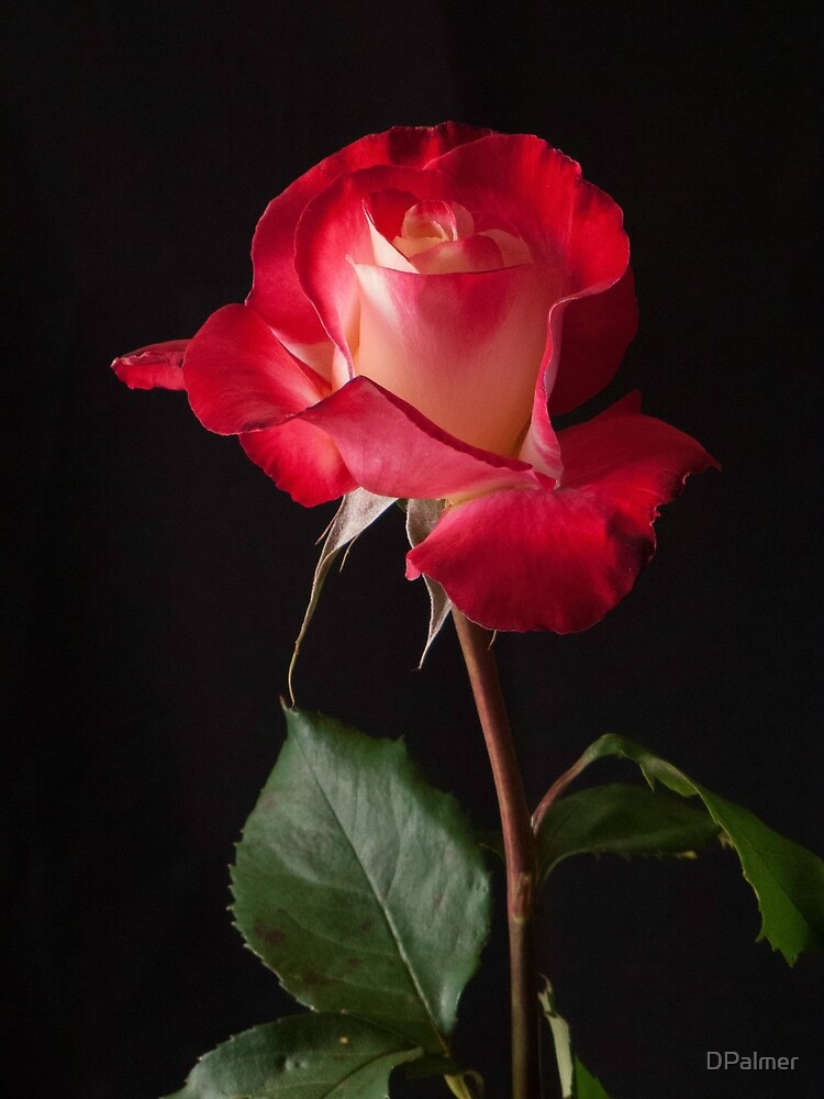 """Red  Rose  - """"Double Delight"""" by DPalmer"""