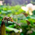 A Dragonfly Rests on a Broken Off Stem in Songnisan National Park by koreanrooftop