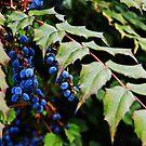 Black Berry by Vittorio Zumpano