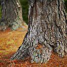 Pine trees #2 by farmboy