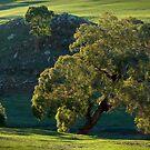 gum tree by farmboy