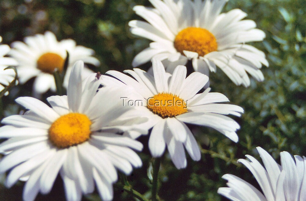 Three Daisies by Tom Causley