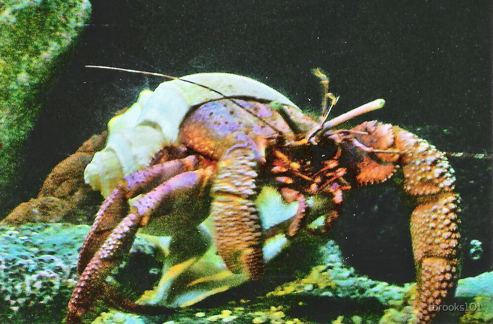 Giant Hermit Crab... by tbrooks101
