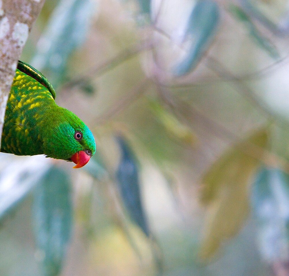 Scaly-breasted Lorikeet by Bruce  Thomson