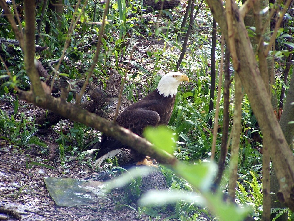 The Bald Eagle by Ryian