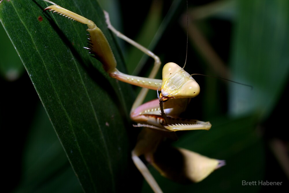 Praying Mantis by Brett Habener