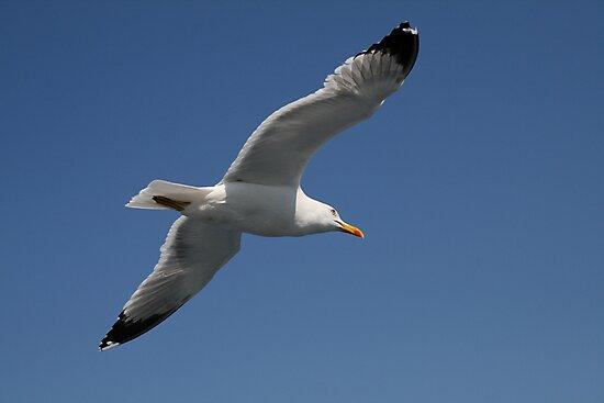 Greek Seagull by Joao Ferreira