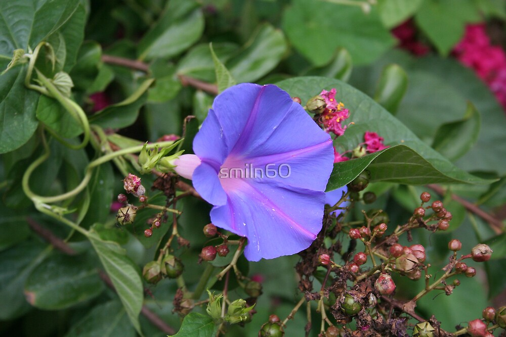 Blue Morning Glory 2006 by smiln60