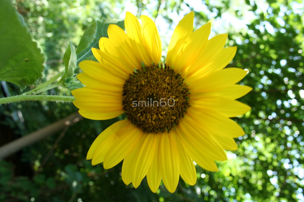 Yellow Sunflower by smiln60