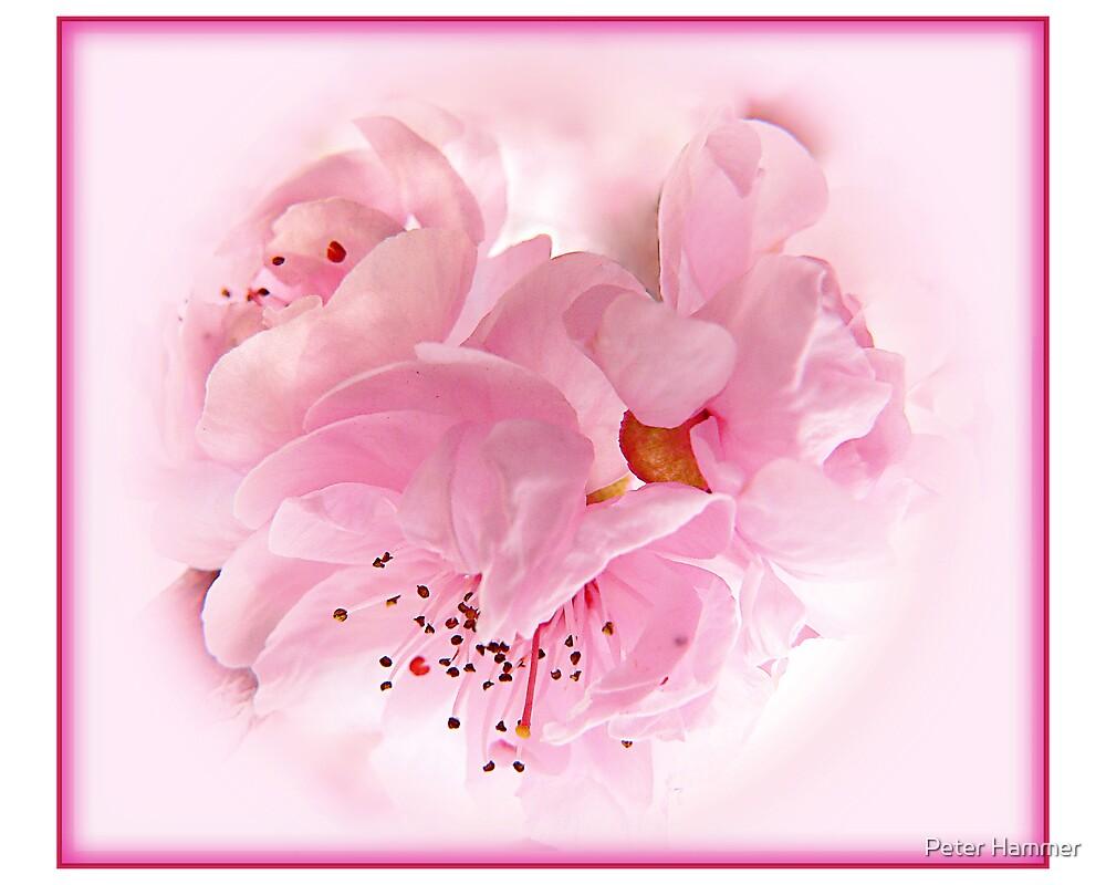 Flowering Cherry by Peter Hammer