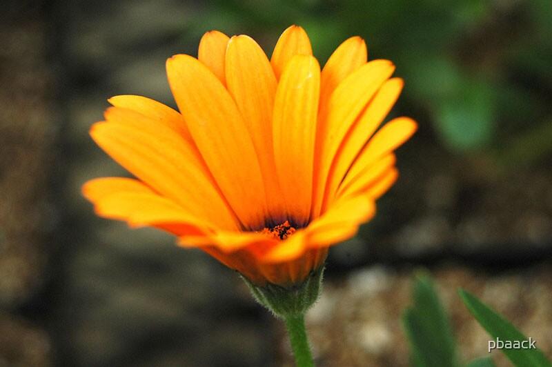 Orange Flower 2 by pbaack