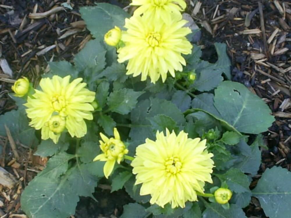 yellow roses garden by oilersfan11