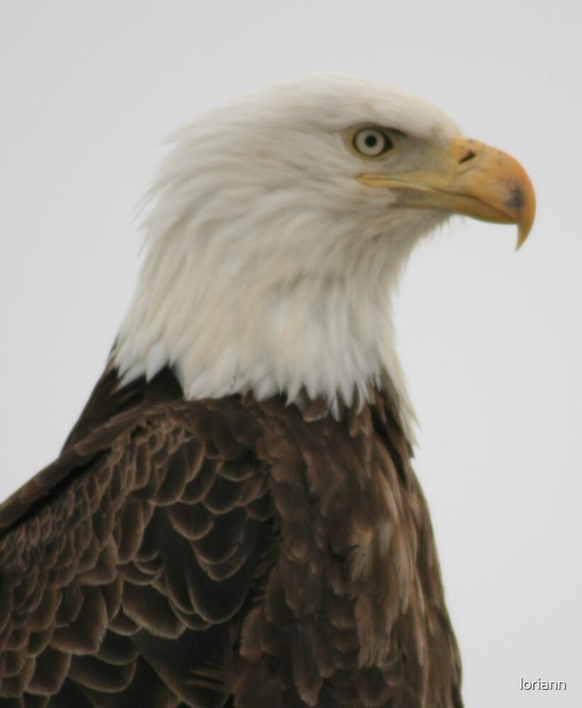 Eagle by loriann