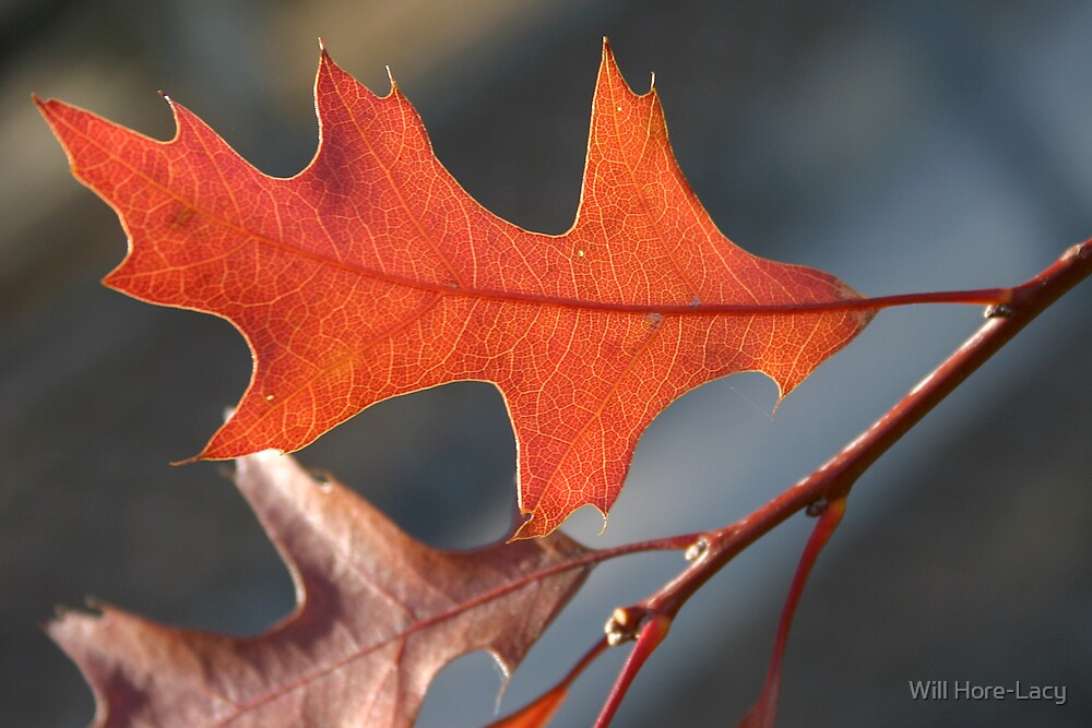 Autumn Leaf by Will Hore-Lacy