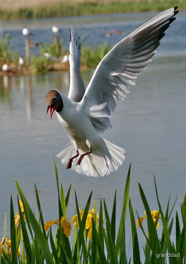 black headed gull by granddad