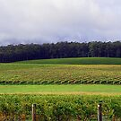 Pemberton Vineyard Panorama  by EOS20