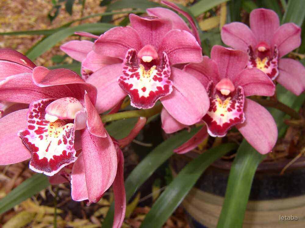 Pink Orchid by letaba