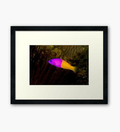 Royal Dottyback Framed Print