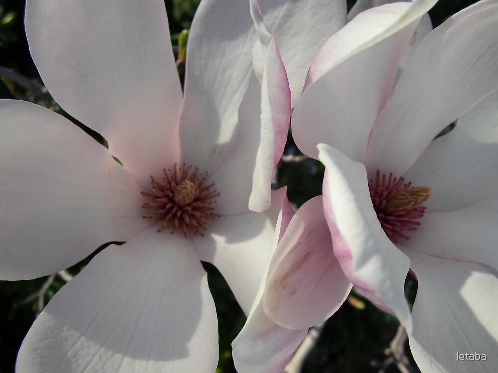 Magnolia blooms by letaba