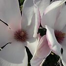 Magnolia blooms by letaba