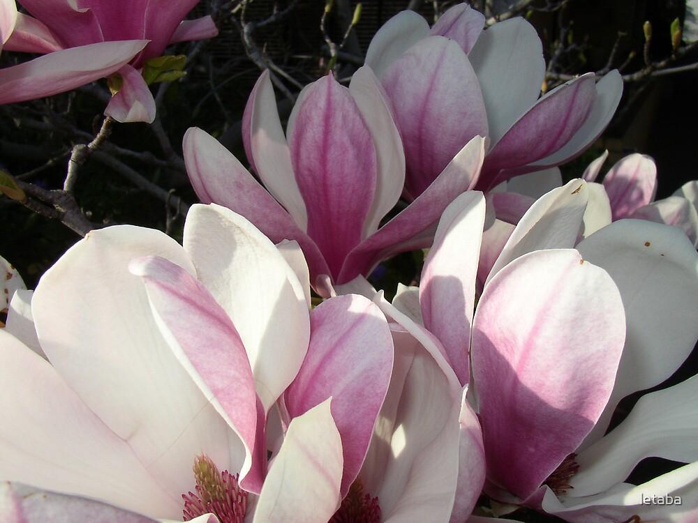 Magnolia en masse by letaba