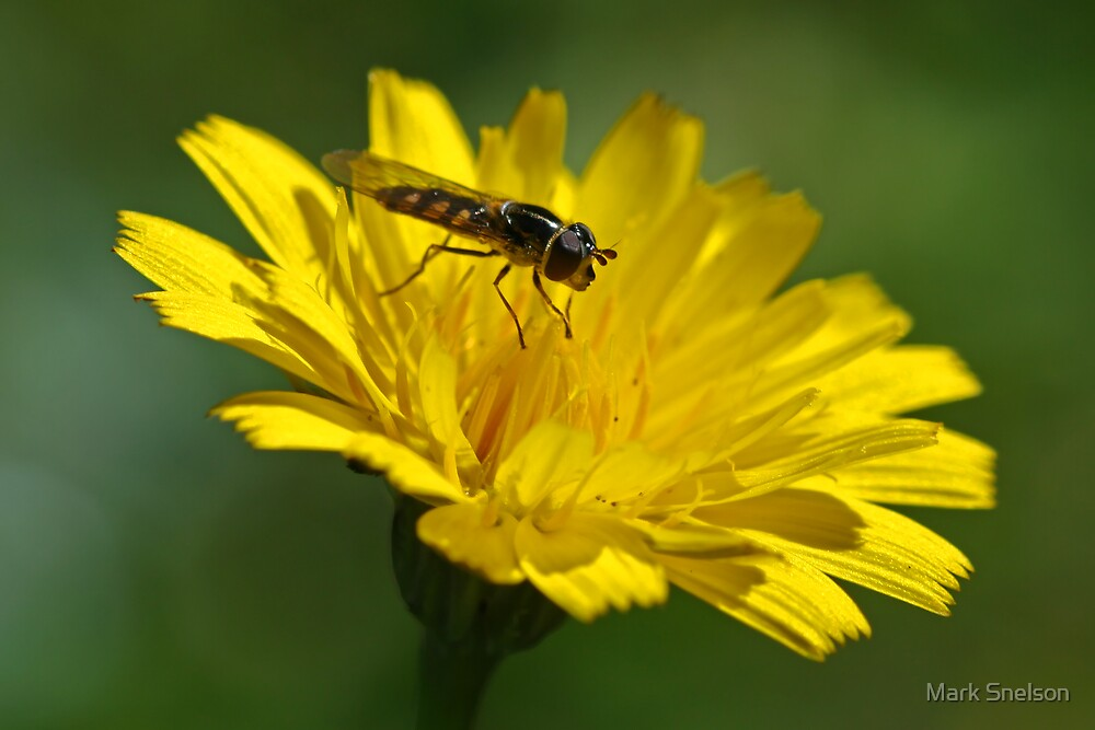 Hoverfly on Dandelion by Mark Snelson
