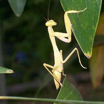 yellow praying mantis by rissole101