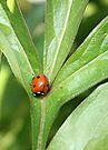 Ladybug On Peony Leaf by Stephen Thomas