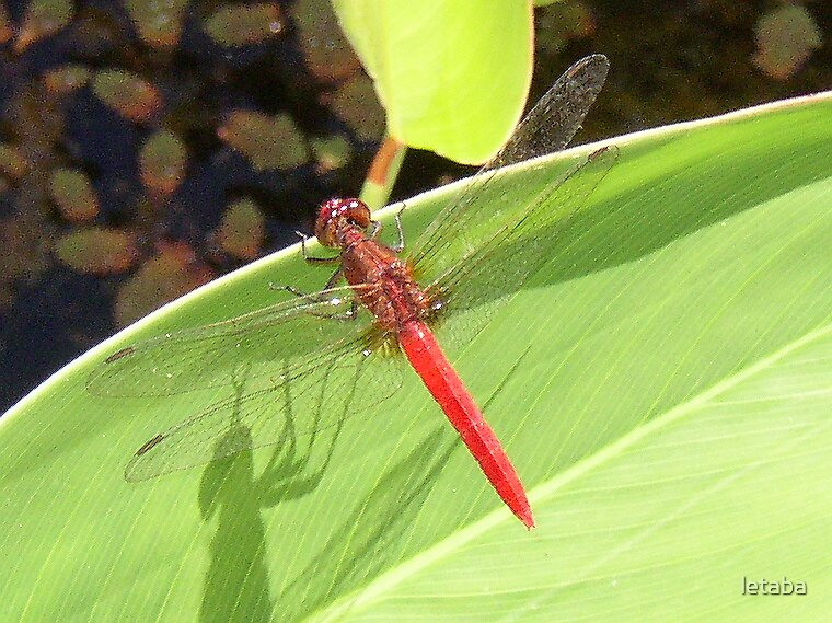 Dragon Fly by letaba