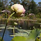 Lotus Pond One by Wzard