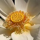 White and yellow lily by Wzard