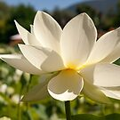 White Lily by Wzard