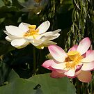 Pink and white water lily by Wzard