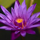 Purple and yellow water lily by Wzard