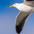 Seagull flying against blue sky by Bradley Hebdon