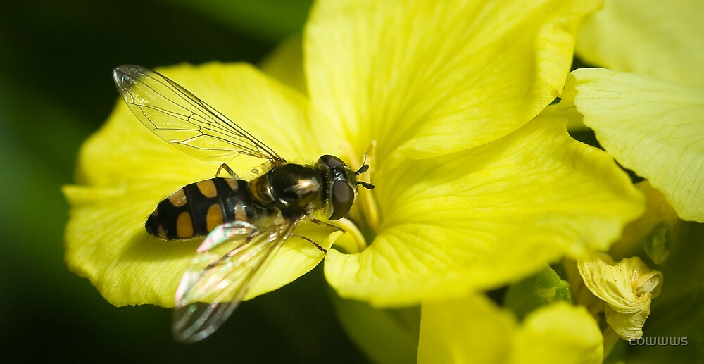 Hoverfly by cowwws