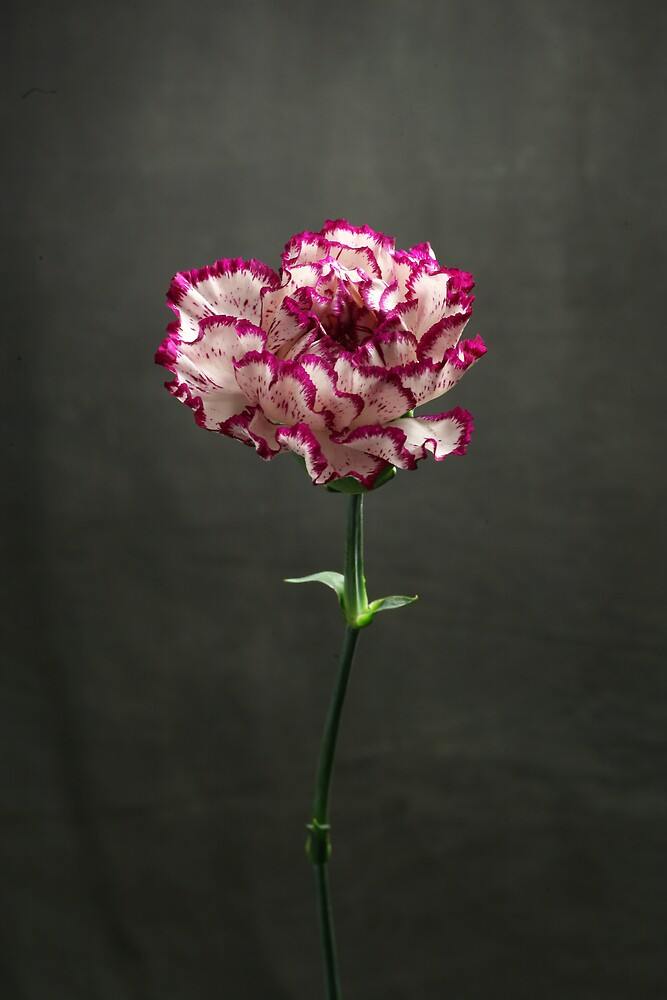 Carnation by Lawrence Winder