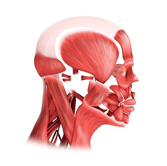 Láminas fotográficas «Ilustración médica de los músculos faciales ...