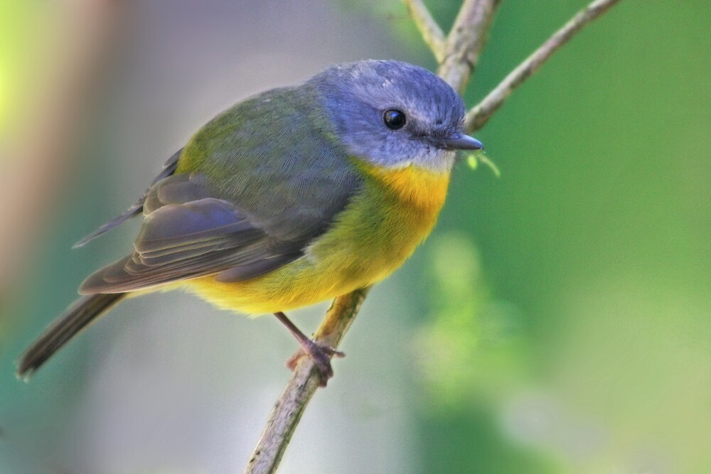 Eastern Yellow Robin by Natalie Manuel