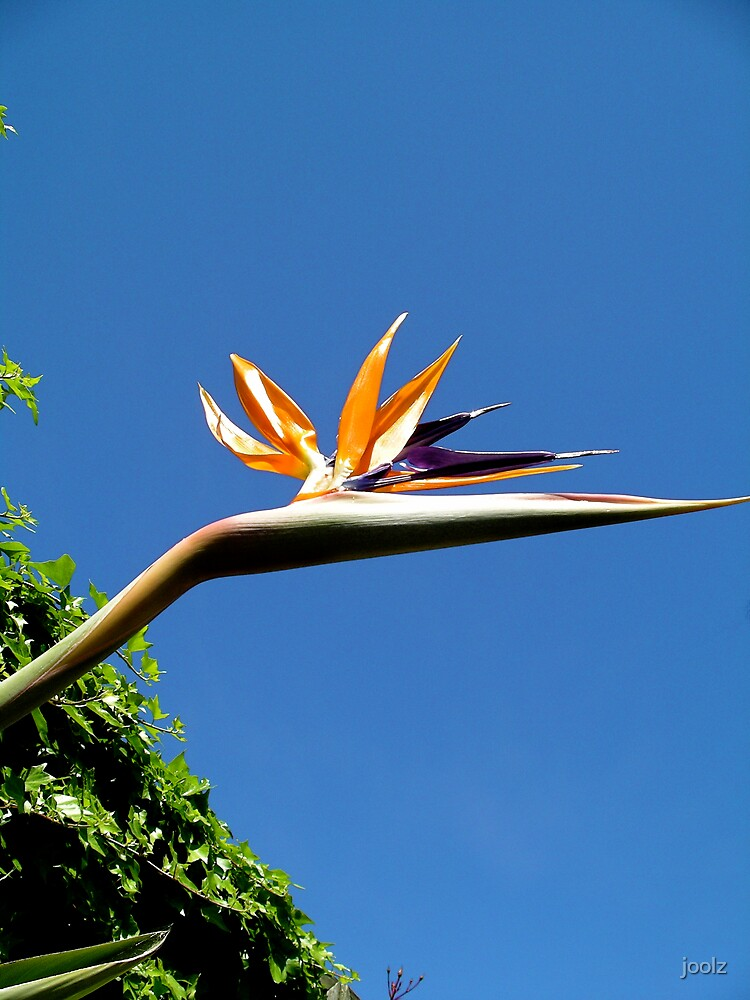 Bird of Paradise by joolz
