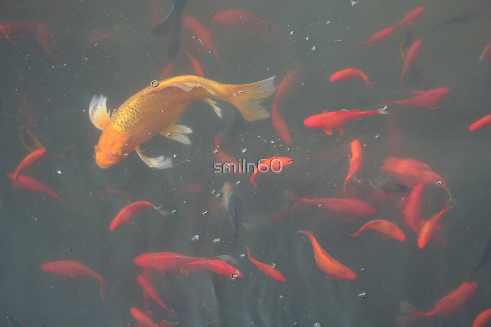 orange goldfish in the water by smiln60